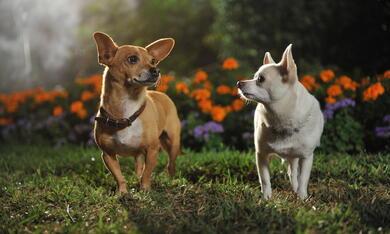 Beverly Hills Chihuahua 3 - Bild 10