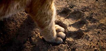 Der König der Löwen: Ein Abweichen von den Fußstapfen?