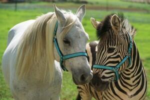 Im Rennstall Ist Das Zebra Los Stream