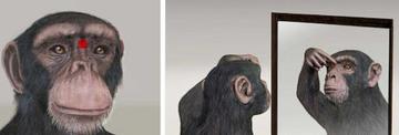 Spiegeltest bei Affen, erfolgreich