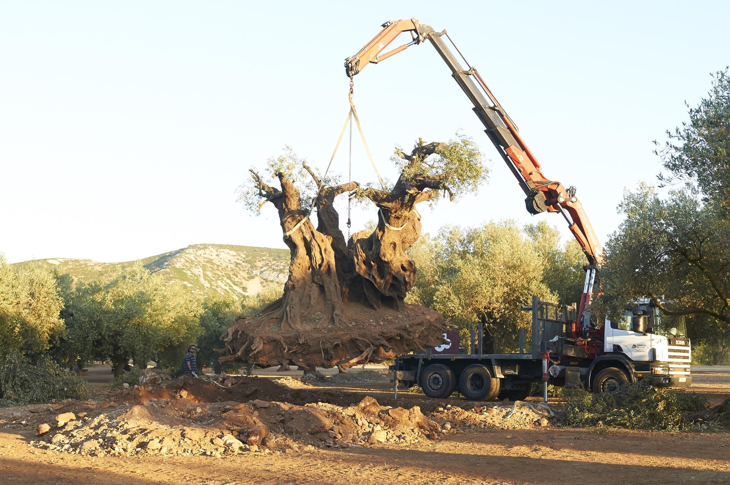 der olivenbaum stream