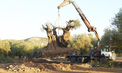 El Olivo - Der Olivenbaum - Bild 3