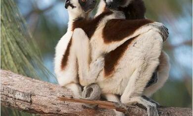 Island of Lemurs: Madagascar - Bild 3