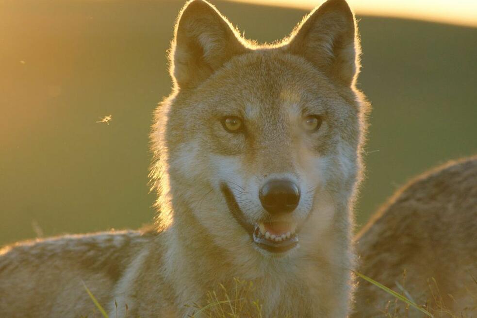Der Letzte Wolf Stream
