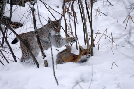 Der Fuchs Und Das Mädchen Stream