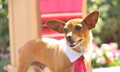 Beverly Hills Chihuahua 3 - Bild 7