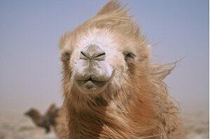 Die Geschichte Vom Weinenden Kamel Stream